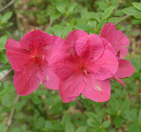 Rhododendron 'Allotria'
