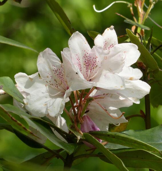 Rhododendron 'Duc de Brabant'