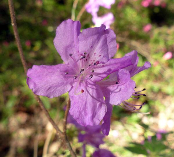 Rhododendron 'Doubrava'