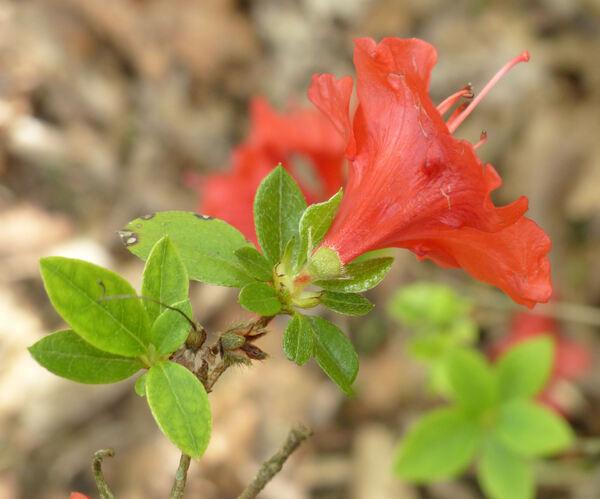 Rhododendron 'Estrella'