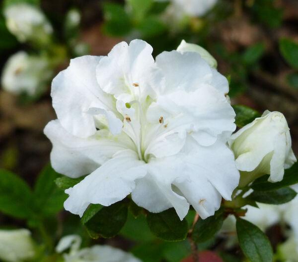 Rhododendron 'Eisprinzessin'