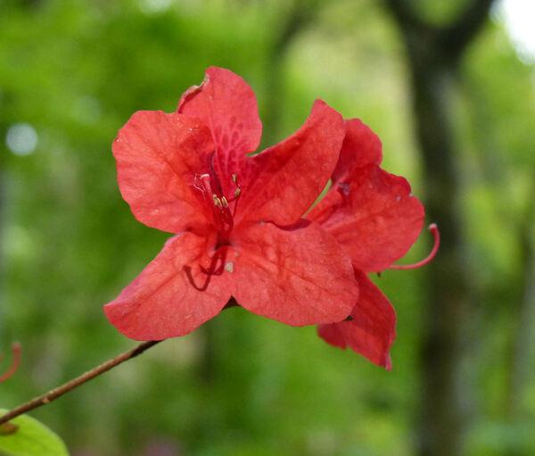 Rhododendron 'Eddy'