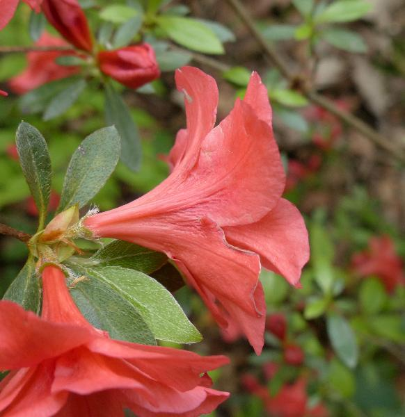 Rhododendron 'Early Beny'