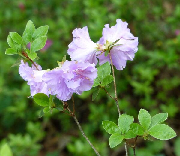 Rhododendron 'Elsie Lee'