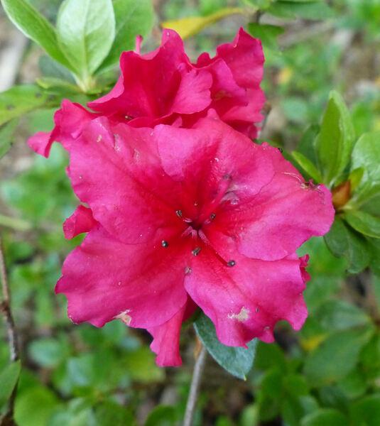 Rhododendron 'Euratom'