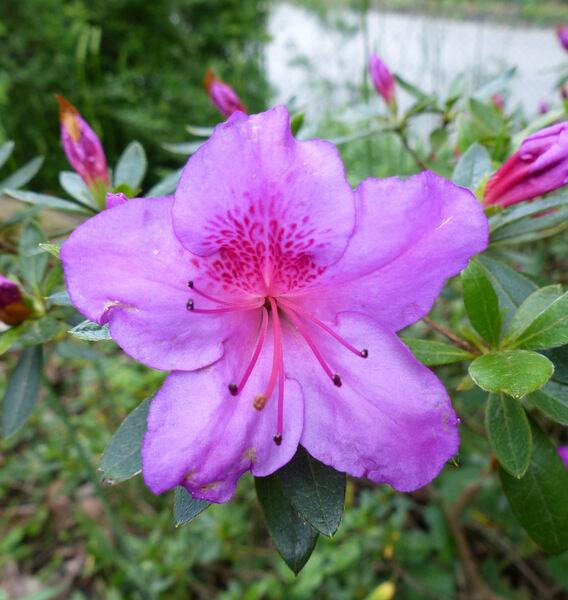 Rhododendron 'Phoenicia'