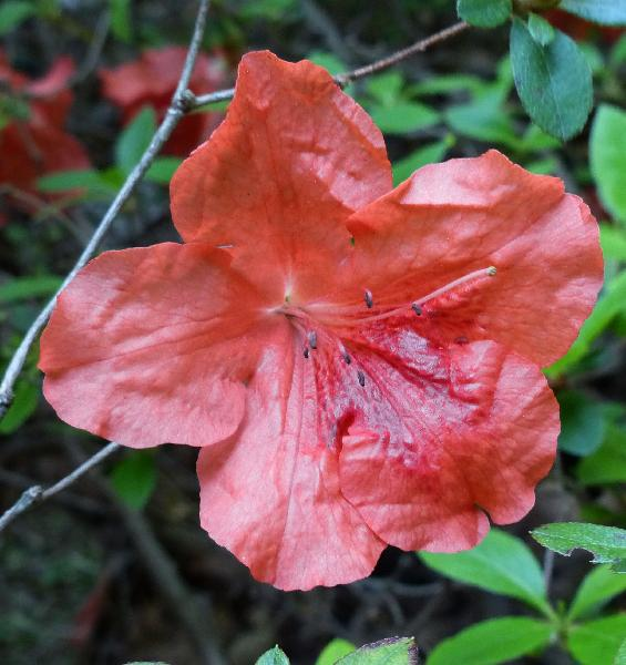 Rhododendron 'Daimio'