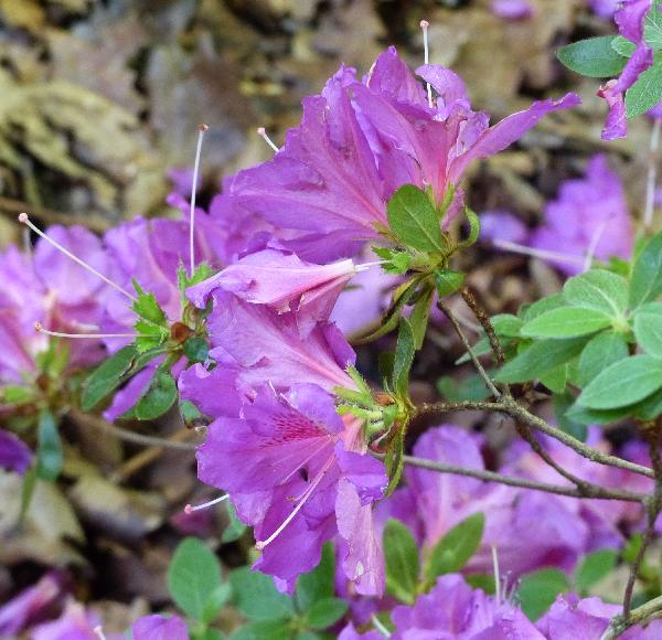 Rhododendron 'Colyer'
