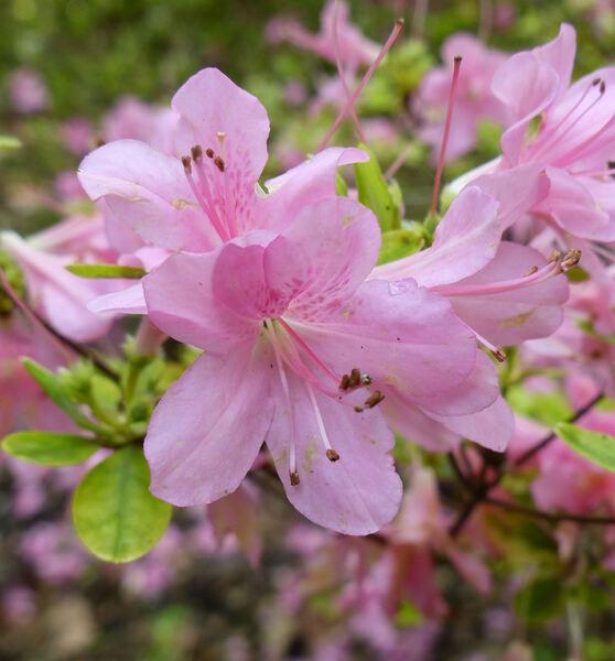 Rhododendron 'Elena'