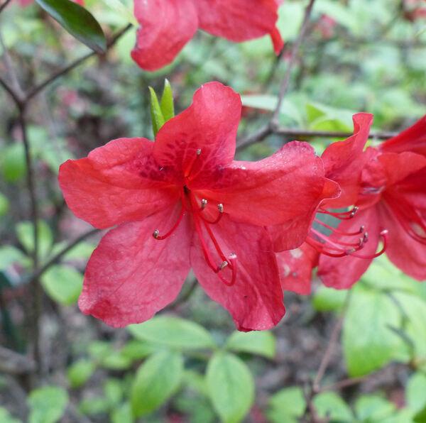 Rhododendron 'John Cairns'