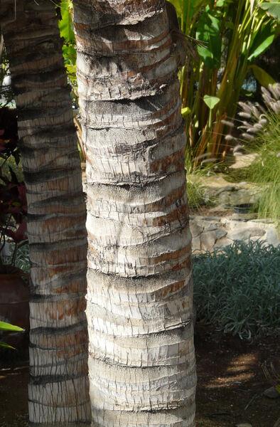 Caryota maxima Blume
