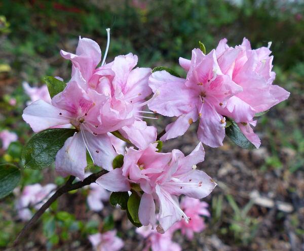 Rhododendron 'Tousen'