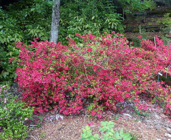 Rhododendron 'Campfire'