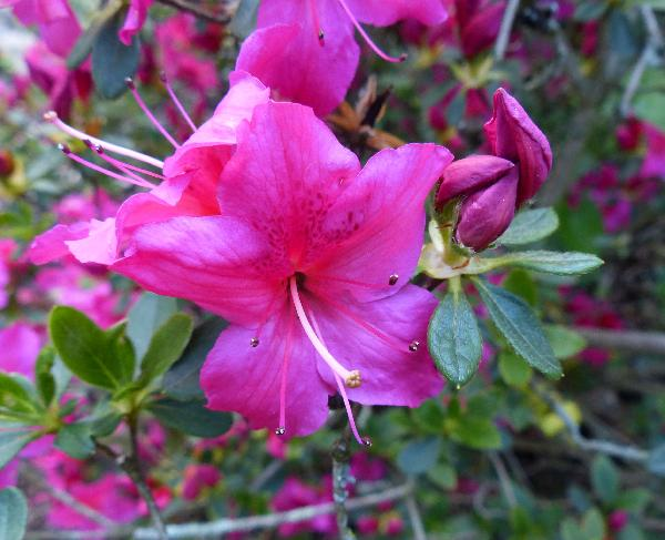 Rhododendron 'Advance'