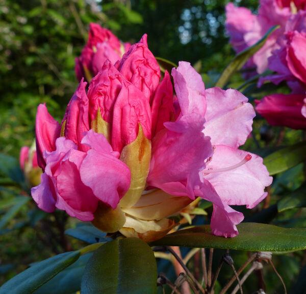 Rhododendron 'Hydon Hunter'