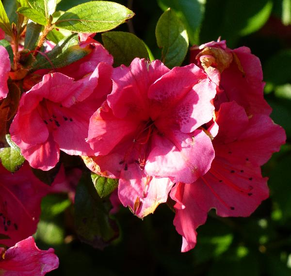 Rhododendron 'Vuyk's Rosyred'