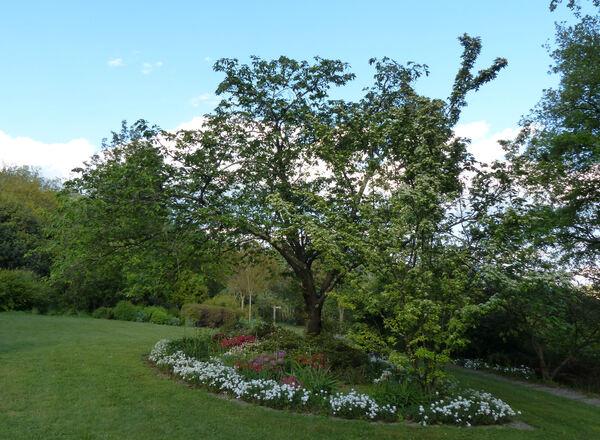 Prunus 'Ichiyo'