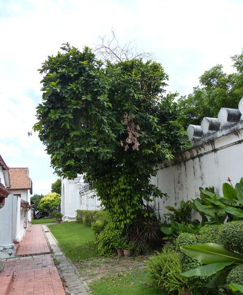 Syzygium malaccense (L.) Merr. & L. M. Perry