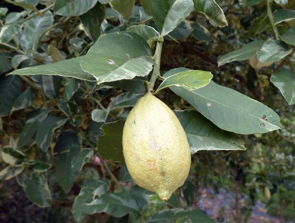Citrus x limon (L.) Osbeck 'Variegato'