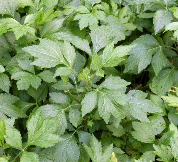 Artemisia lactiflora Wall. ex DC.