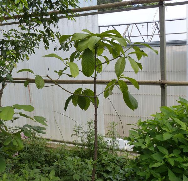 Garcinia atroviridis Griff. ex T. Anderson