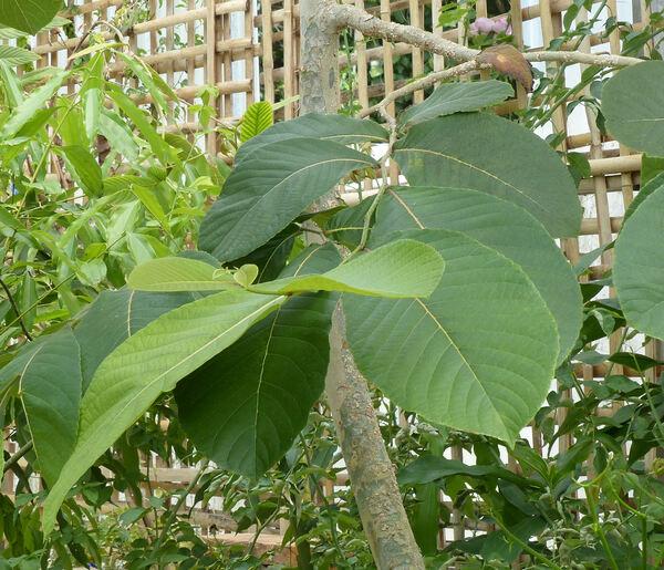 Homalium tomentosum (Vent.) Benth.