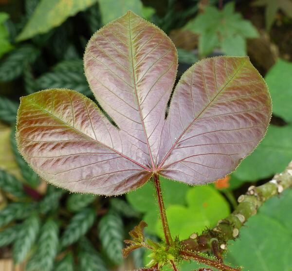 Jatropha gossypifolia L.
