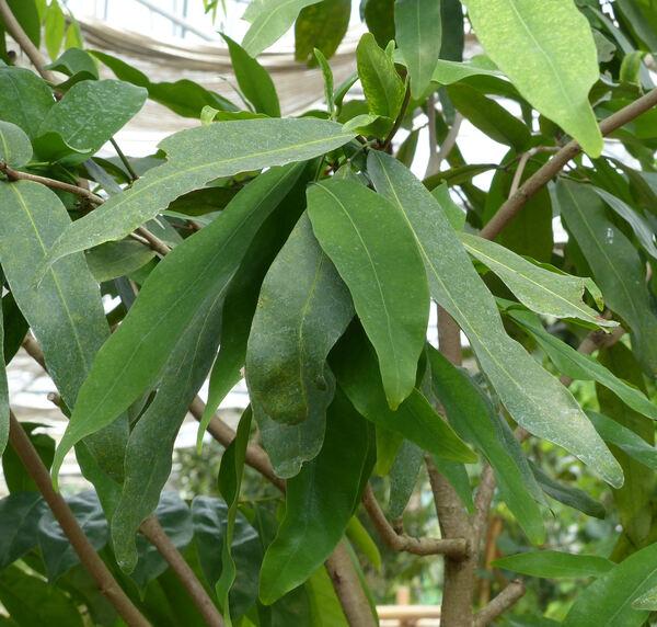 Saraca asoca (Roxb.) Willd.