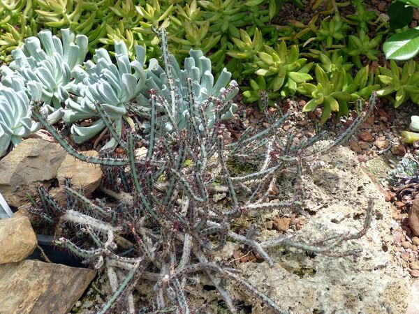 Euphorbia aeruginosa Schweick.