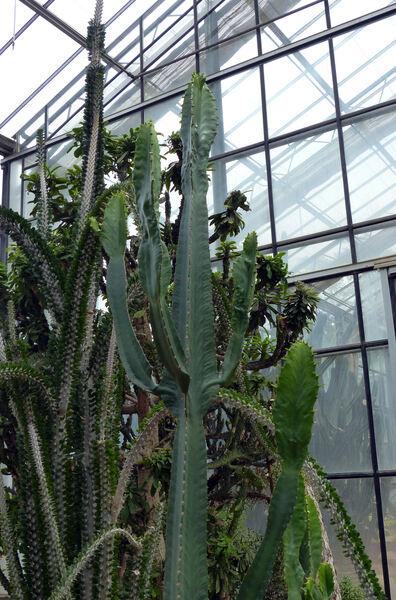 Euphorbia triangularis Desf. ex A.Berger