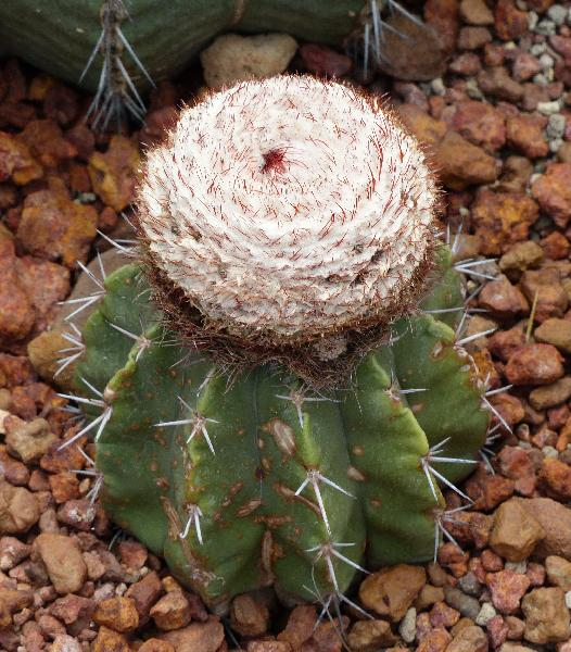 Melocactus bahiensis (Britton & Rose) Luetzelb.