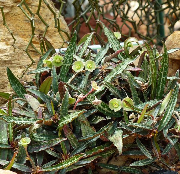 Euphorbia ambovombensis Rauh & Razaf.