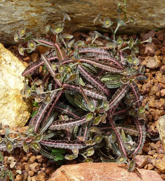 Euphorbia francoisii Leandri