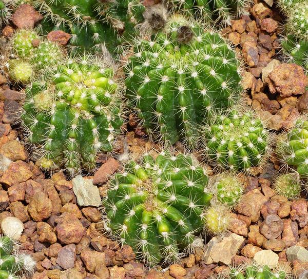 Echinopsis calochlora K. Schum.