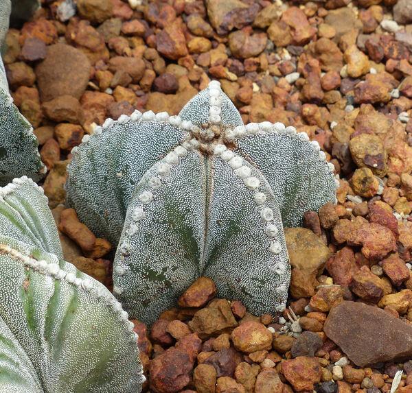 Astrophytum myriostigma Lem.