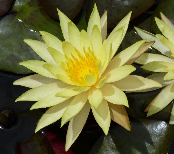 Nymphaea 'Pin Waree'