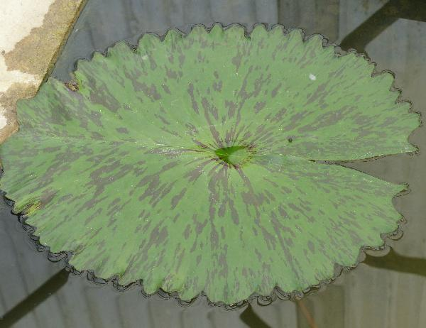 Nymphaea 'Ply'