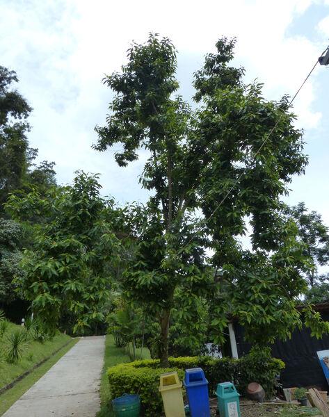 Magnolia champaca (L.) Baill. ex Pierre