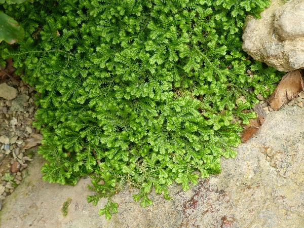 Selaginella apoda (L.) Spring
