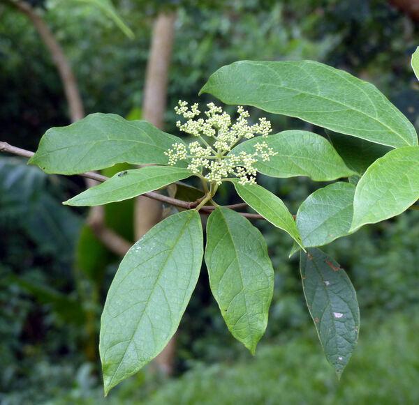Viburnum inopinatum W.G. Craib
