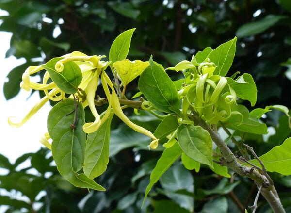 Cananga odorata (Lam.) Hook. f. & Thomson var. fruticosa (Craib) J. Sinclair