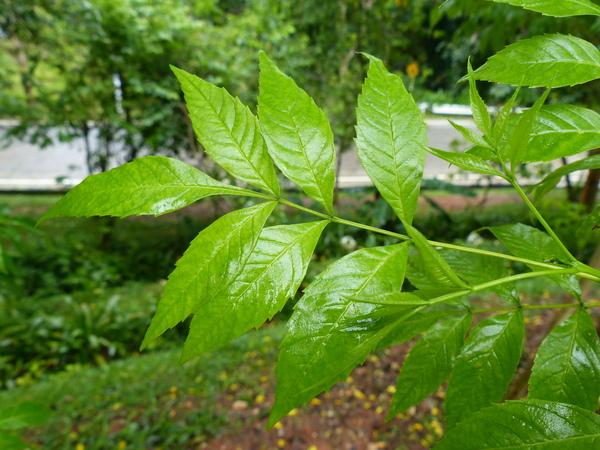 Tecoma stans (L.) Juss. ex Kunth