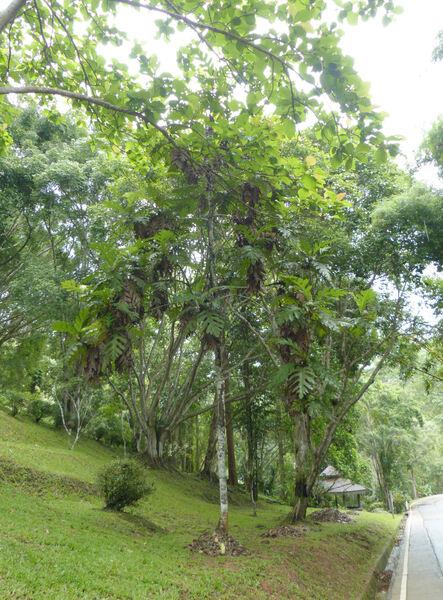Artocarpus elasticus Reinw. ex Blume