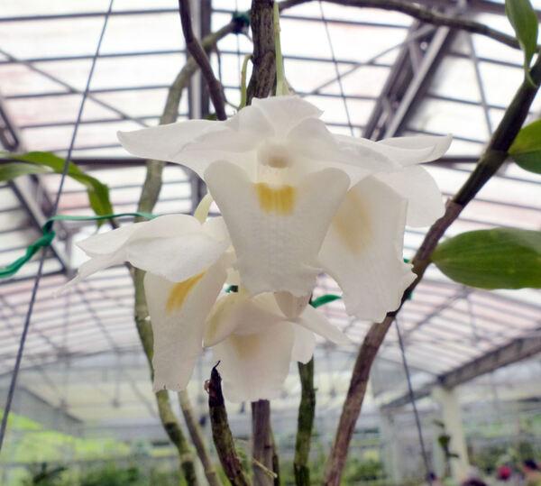 Dendrobium arcuatum J.J. Sm.