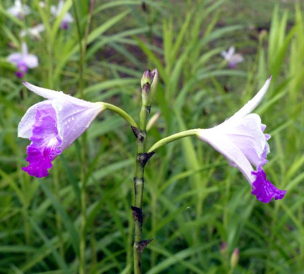 Arundina graminifolia (D.Don) Hochr.