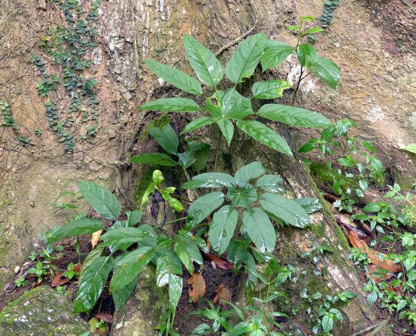 Trevesia palmata (Roxb. ex Lindl.) Vis.
