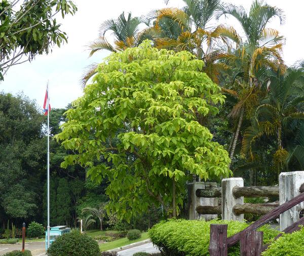 Pisonia grandis R.Br.
