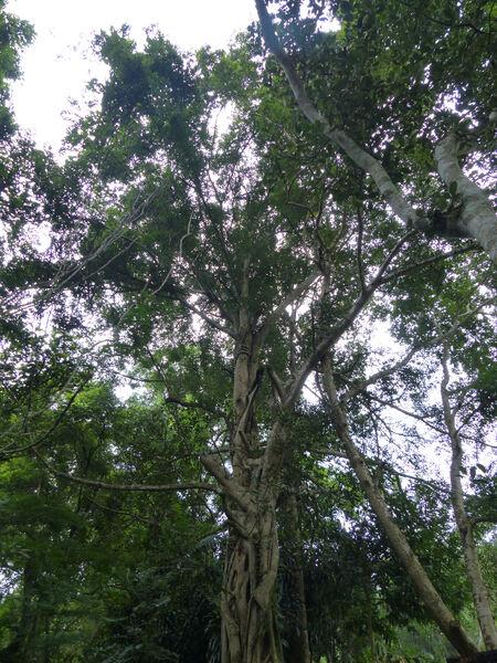 Ficus calophylla Blume