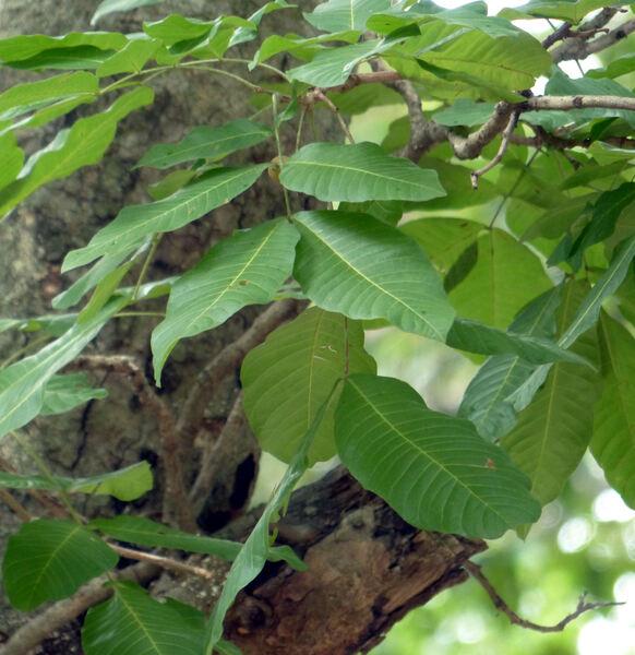 Schleichera oleosa (Lour.) Oken