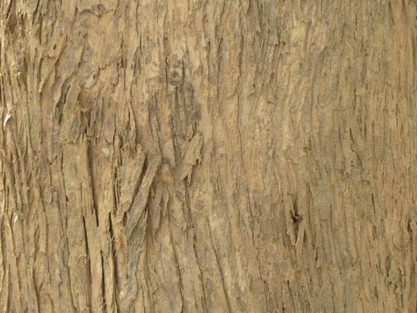 Tectona grandis L.f.